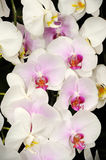 Beautiful orchid in the garden. Royalty Free Stock Photography