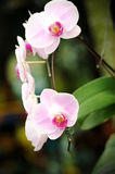 Beautiful orchid in the garden. Stock Image