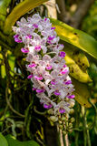 Beautiful orchid from garden Stock Photo