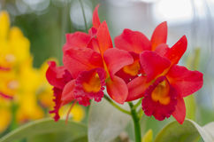 Beautiful Orchid in garden,colorful orchid. Royalty Free Stock Photos