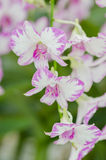 Beautiful Orchid in garden,colorful orchid. Stock Images