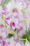 Beautiful Orchid in garden,colorful orchid. Stock Photos