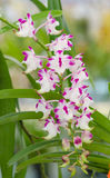 Beautiful Orchid in garden,colorful orchid. Stock Image