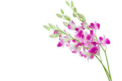 Beautiful Orchid isolated on white Stock Photos