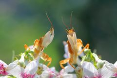 Beautiful orchid mantis on red flower Royalty Free Stock Photos