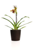 Beautiful orchid (Paphiopedilum Royalty Free Stock Photo