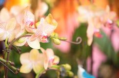 Beautiful orchid - phalaenopsis Stock Photos