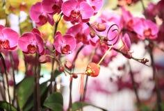 Beautiful orchid - phalaenopsis Stock Image
