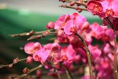 Beautiful orchid - phalaenopsis Royalty Free Stock Image