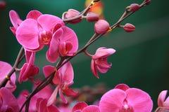 Beautiful orchid - phalaenopsis stock images