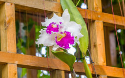 Beautiful orchid - phalaenopsis Stock Images