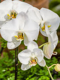 Beautiful orchid - phalaenopsis Royalty Free Stock Photos