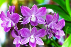 Beautiful orchid Royalty Free Stock Image