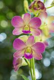 Beautiful orchid. Purple Dendrobium sonia Orchidaceae. Close up from plant stock images