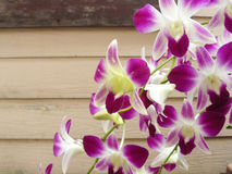 Beautiful orchid. Purple Dendrobium sonia. & x28;Orchidaceae& x29; close up from plant on wooden background Royalty Free Stock Images