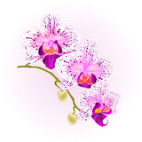 Beautiful  Orchid purple and white Phalaenopsis stem with flowers and  buds closeup  vintage  vector editable illustration Stock Image