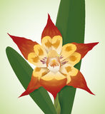 Beautiful Orchid Red, Yellow Colored and with Patches, Vector Illustration Stock Image
