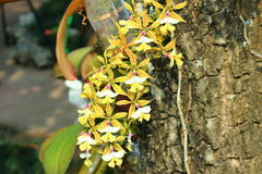 Beautiful orchid in the royal park rajapruek of Thailand. Royalty Free Stock Photography