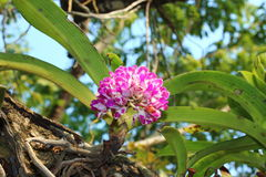Beautiful orchid in the royal park rajapruek of Thailand. Stock Images