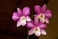 Beautiful Orchid, srilankan Orchid Farm. The Orchidaceae are a diverse and widespread family of flowering plants, with blooms that are often colourful and stock photo