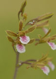 A beautiful orchid Stock Image