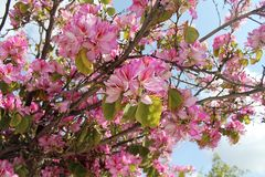 Beautiful orchid tree on a sunny spring day royalty free stock photo