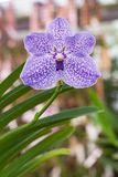Beautiful orchid. Vanda or Vanda coerulea Griff. Various flower close up from bouquet Royalty Free Stock Image