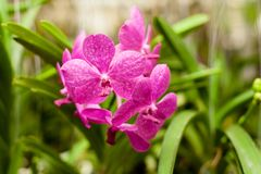 Beautiful orchid. Vanda or Vanda coerulea Griff. Various flower close up from bouquet Stock Images