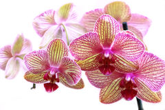 Beautiful orchid on a white background Royalty Free Stock Photo
