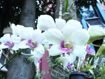 Beautiful orchid. White Dendrobium sonia. & x28;Orchidaceae& x29; close up from plant Royalty Free Stock Photos