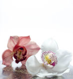 The beautiful orchidea with background Stock Image