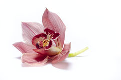 The beautiful orchidea with background Royalty Free Stock Photography
