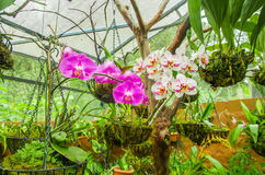 Beautiful orchidea inside of a greenhouse located in a garden in Mindo, Ecuador Stock Image