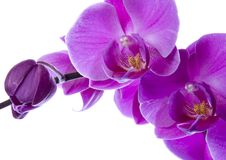 Free BEAUTIFUL ORCHIDS Royalty Free Stock Photos - 2330338