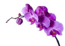 BEAUTIFUL ORCHIDS Royalty Free Stock Image