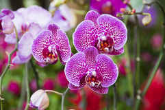 Beautiful orchids. Royalty Free Stock Photos