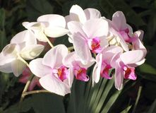Beautiful Orchids Stock Photography