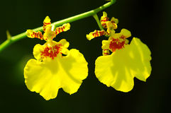 Beautiful Orchids. Close-up of two yellow dancing orchids with dark background stock photos