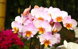Beautiful orchids in bloom stock image