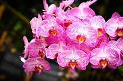 Beautiful orchids in bloom royalty free stock photography