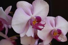 Beautiful orchids close up in my room Stock Photography