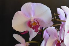 Beautiful orchids close up in my room Stock Images