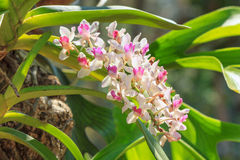 Beautiful orchids flower tree. Royalty Free Stock Photography