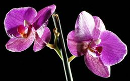Beautiful orchids are highlighted on a dark background, flowers bloomed, orchids bloomed, Orchidaceae, green, black, pink, purple, stock photography