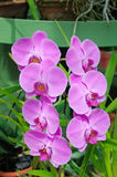 beautiful orchids over green leafs Stock Image