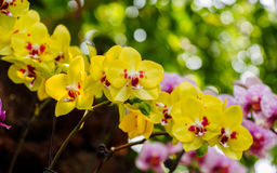 Beautiful orchids, phalaenopsis, in green house Royalty Free Stock Photos