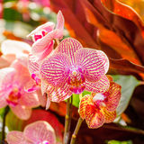 Beautiful orchids, phalaenopsis, in green house Stock Images
