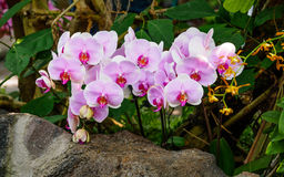 Beautiful orchids, phalaenopsis, in green house Stock Photo