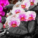Beautiful orchids, phalaenopsis, in green house Royalty Free Stock Photo