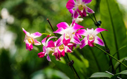 Beautiful orchids, phalaenopsis, in green house Royalty Free Stock Images